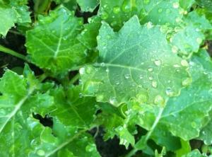 Mmmm.. freshly watered kale plants