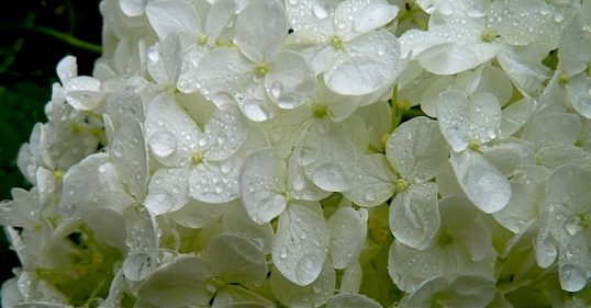 hydrangea and dew 2