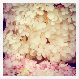 An old instagram shot of unknow hydrangea with aging blossoms turning pink at the edges.
