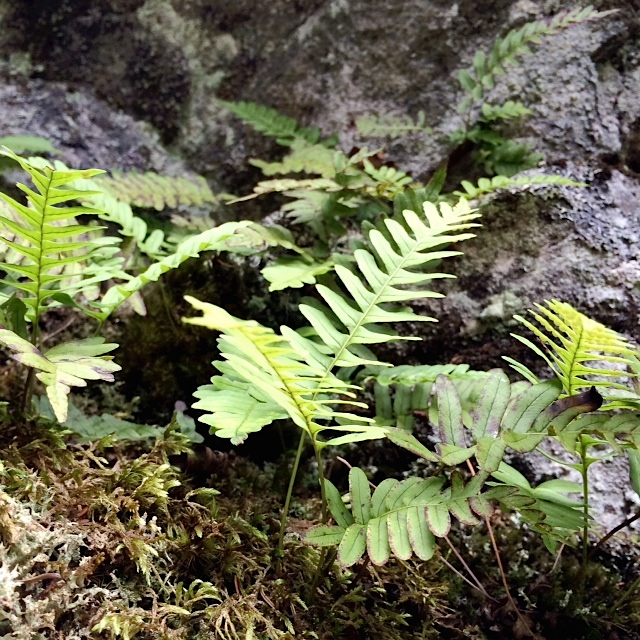 ferns in maine woods
