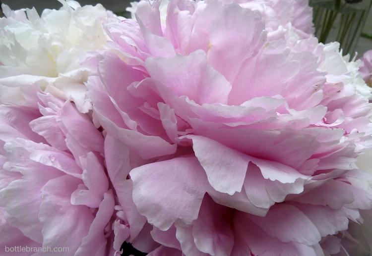 more pink peonies