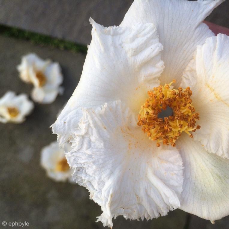 stewartia blossoms ephpyle