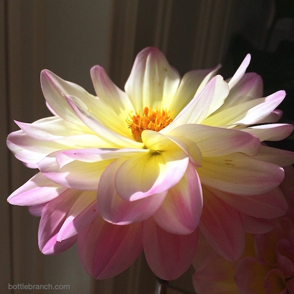 bright dahlia by ephpyle