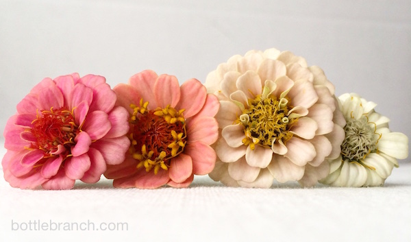 lilliput zinnias from bottle branch