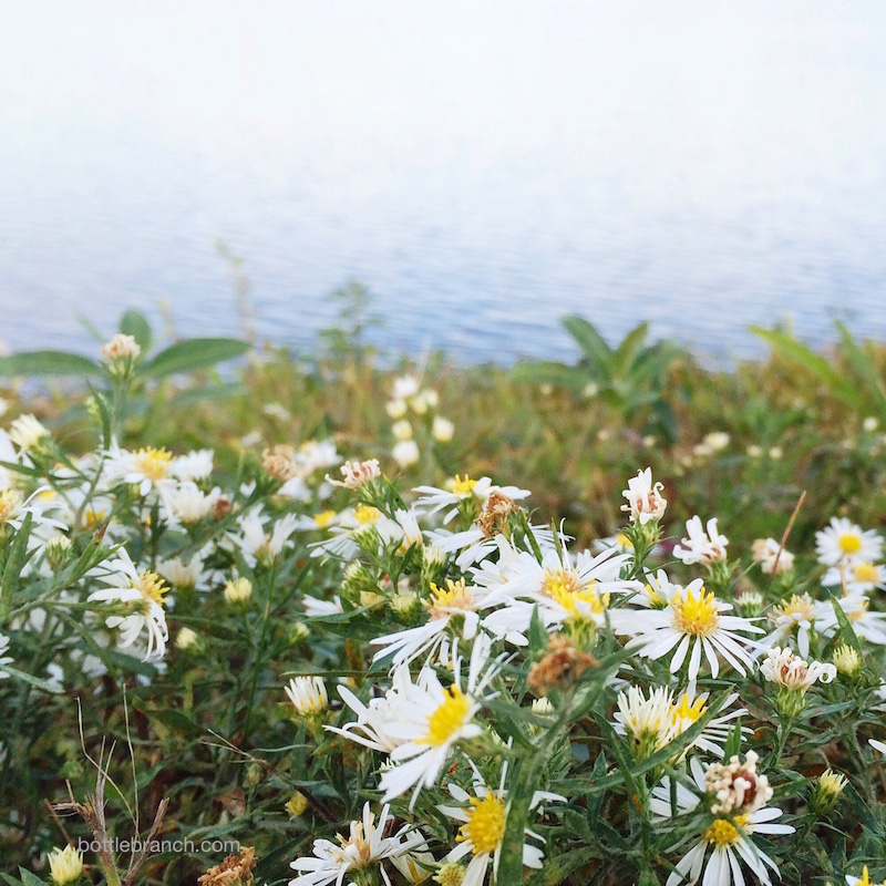 autumn asters on the reservior