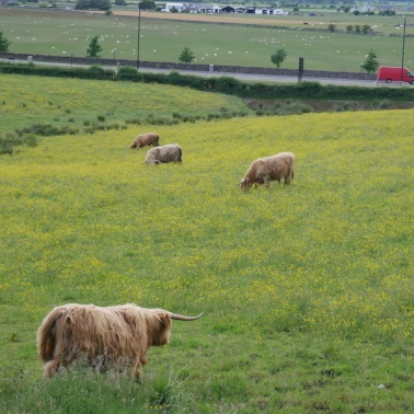 highland cows grazing below stirling castle