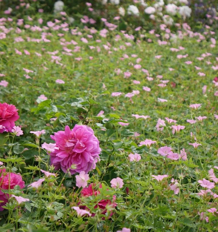 peony and geranium
