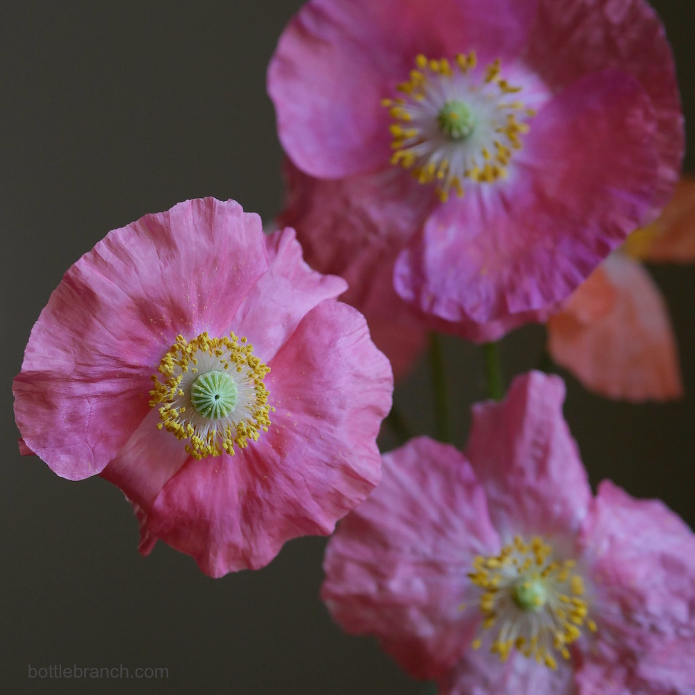 pink poppies exposed by elizabeth pyle bottle branch blog