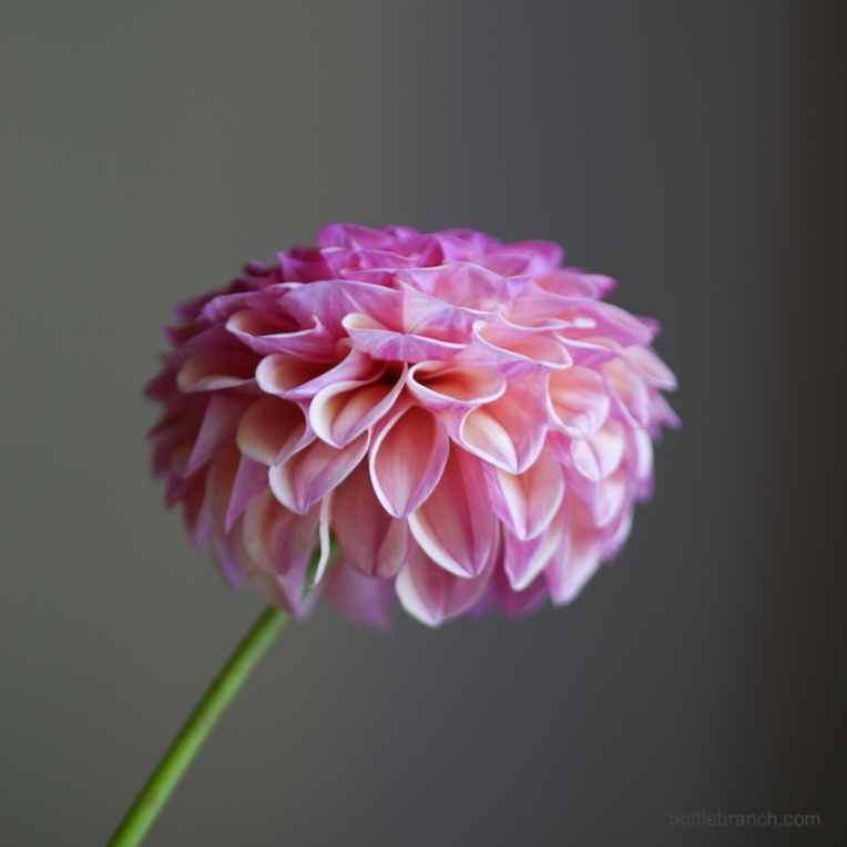dahlia-portrait-1-by-elizabeth-pyle-via-bottle-branch
