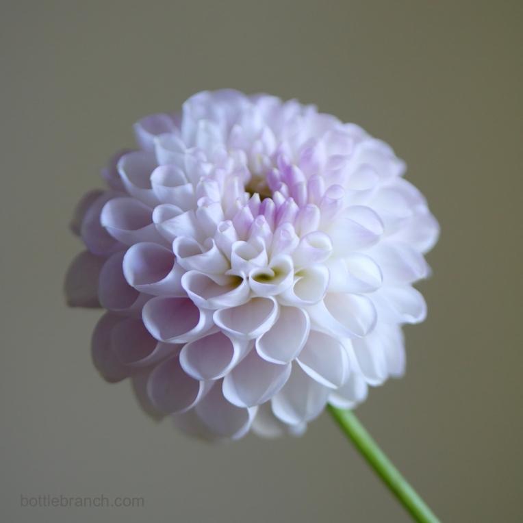 pale-pink-dahlia