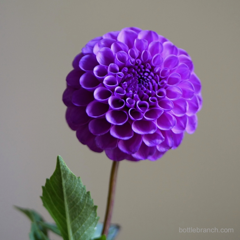 purple-dahlia-portrait-by-elizabeth-pyle-via-bottle-branch