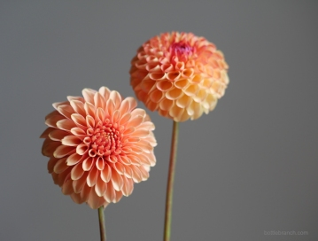 two-orange-dahlias-bottle-branch-blog