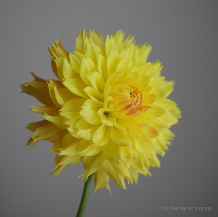 yellow-dahlia-portrait-by-elizabeth-pyle-via-bottle-branch