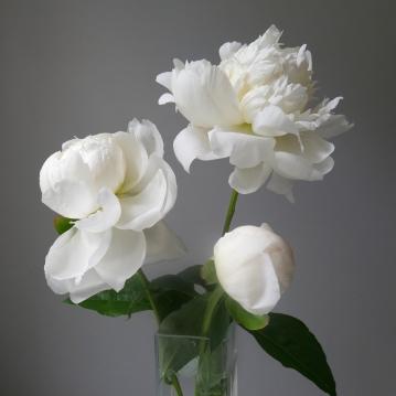 three white peonies