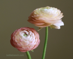 two peach ranunuculus portrait by elizabeth pyle