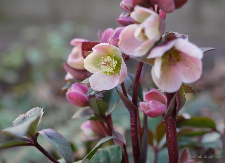 pink frost hellbore bottle branch blog