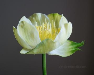 Globe flower (Trollius x cultorum 'New Moon')
