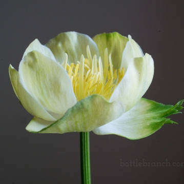 Globe flower (Trollius x cultorum 'New Moon')