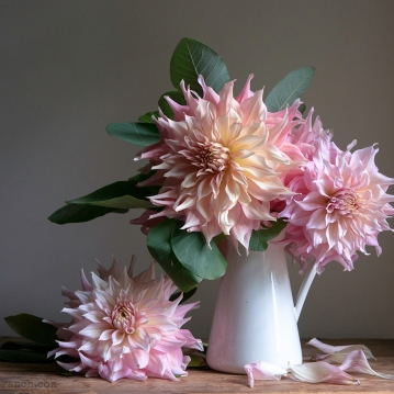 Penhill Watermelon Dahlias