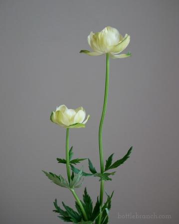 Globe flowers (Trollius x cultorum 'New Moon')