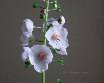 Verbascum phoenecium
