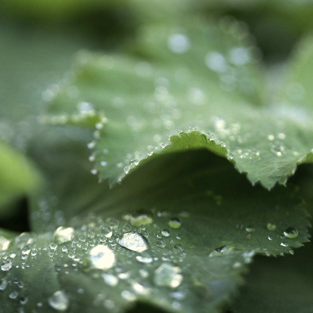lady's mantle with droplets bottle branch