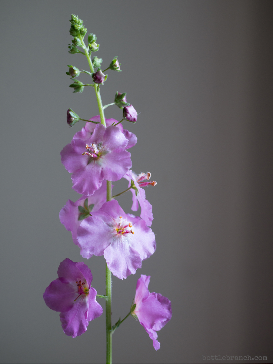 purple verbascum phoenecium bottle branch blog 2.jpg