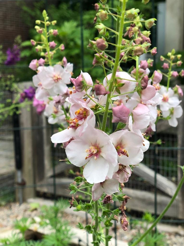 verbascum phoenecium in garden
