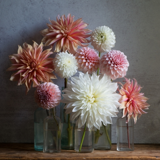 multi dahlias still life light small by elizabeth pyle