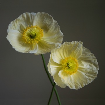 two icelandic poppies square small by elizabeth pyle
